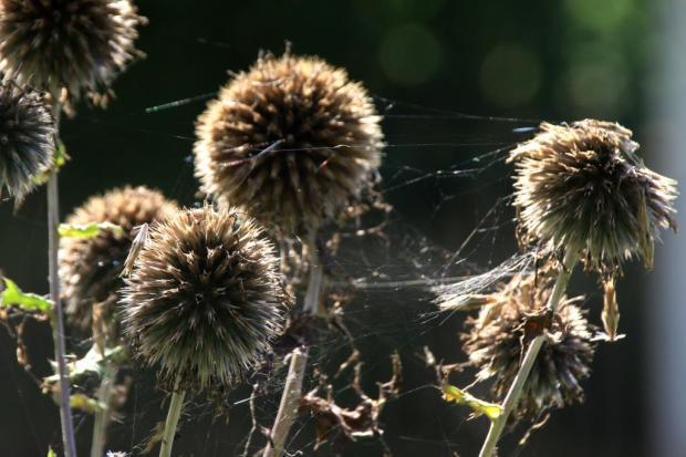 Distelkugeln, mit zarten Spinnweben im Gegenlicht verwoben